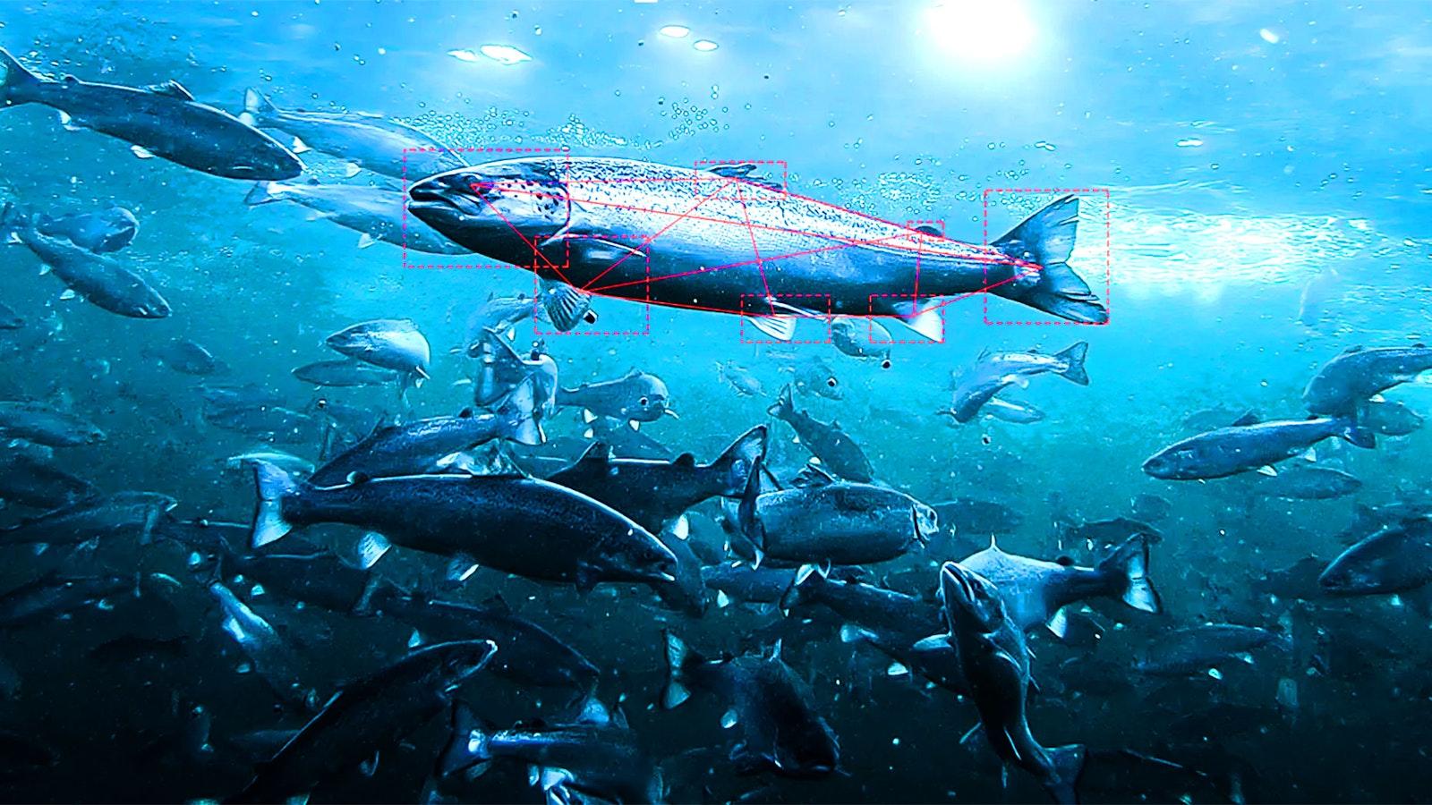 Fish captured by an Aquabyte camera. Image: Aquabyte
